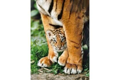 Clementoni 35046 - Bengáli tigris kölyök - 500 db-os puzzle