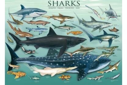 EuroGraphics 6000-0079 - Sharks - 1000 db-os puzzle
