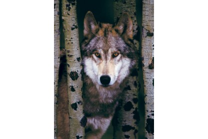EuroGraphics 6000-1244 - Gray Wolf - 1000 db-os puzzle