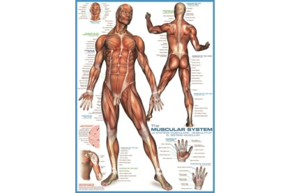 EuroGraphics 6000-2015 - The Muscular System - 1000 db-os puzzle