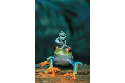 EuroGraphics 6000-3004- Red Eyed Tree Frog- 1000 db-os puzzle