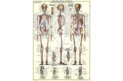 EuroGraphics 6000-3970 - The Skeletal System - 1000 db-os puzzle