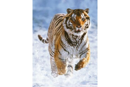 Ravensburger 14475 - Tigris a hóban - 500 db-os puzzle