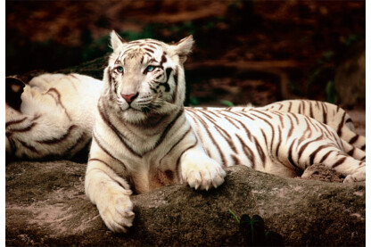 Trefl 26075 - Bengáli tigris - 1500 db-os puzzle