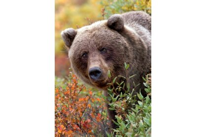Trefl 10518 - Nature Limited Edition - Grizzly medve - 1000 db-os puzzle